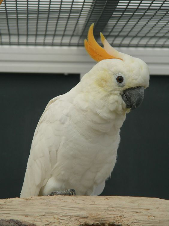 Citron Cockatoo 43