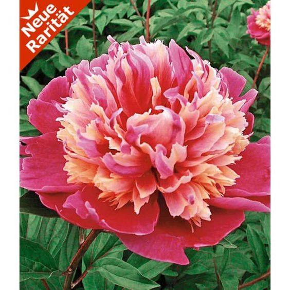 Paeonie 'Day Dream'  Blütezeit: ab Mai Höhe: 70-80cm
