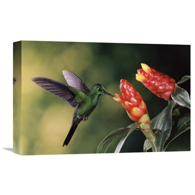 Global Gallery Nature Photographs Green-Crowned Brilliant Hummingbird, Feeding And Pollinating Spiral Flag Ginger Flowers, Monteverde Cloud Forest ...