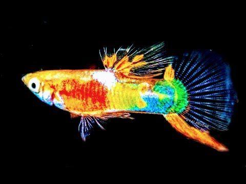 Fishtankaquariums Do Guppies Eat Their Own In 2020 Tropical Fish Aquarium Guppy Guppy Fish