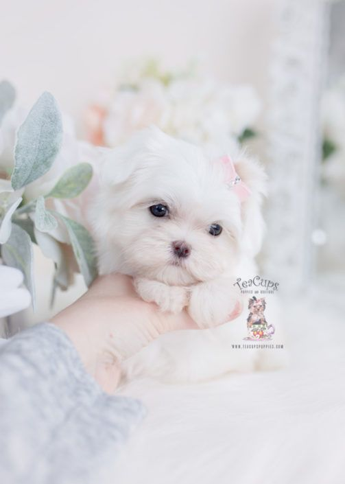 White Female Maltese Puppy For Sale Teacup Puppies In 2020