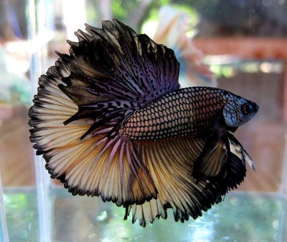 The siamese fighting fish also sometimes colloquially for Seltene zierfische