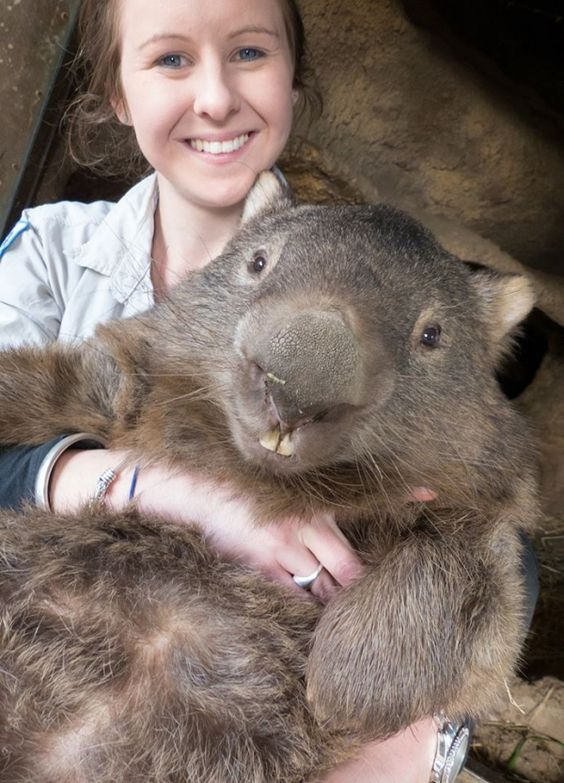 Patrick the wombassador is a whopping 29 years old, making him the oldest living wombat! (photo: Ballarat Wildlife Park)