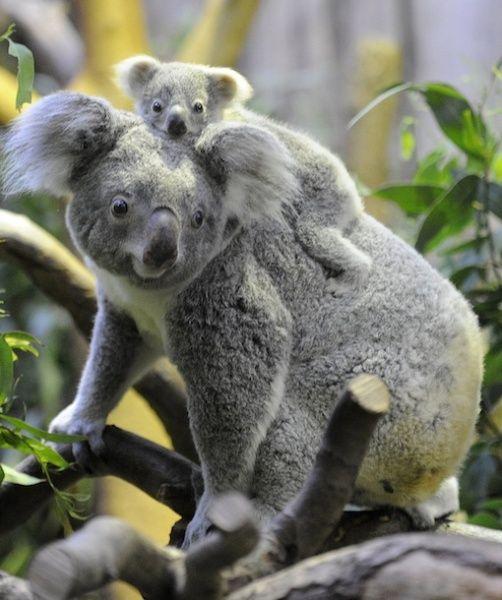 Baby koala, Koalas and A button on Pinterest