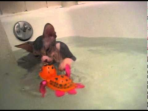 Hairless Cat Bath Site Youtube Com
