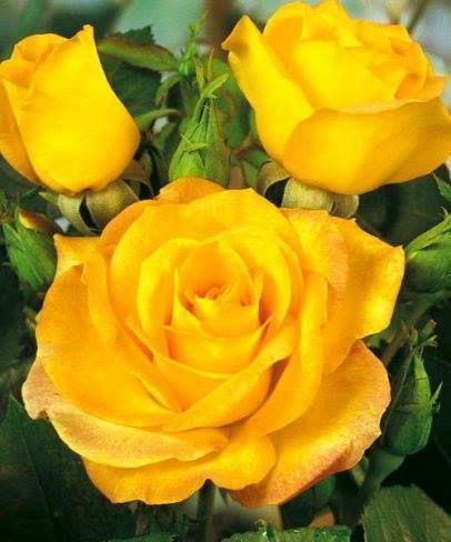 amarelas ouro