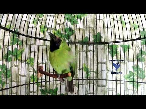 Suara Burung Cucak Ijo Mini Gacor Full Isian Agar Ngentrok Jambul Master Burung Isian