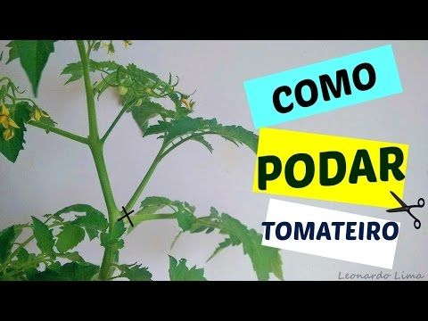 COMO PODAR TOMATEIROS PARA MELHORAR PRODUÇÃO - YouTube