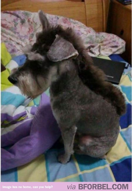 Schnauzer or Donkey?  OMG!  Kasee-Maverick NEEDS this hair cut! bahahaha i so wish we would've done this to Sadie