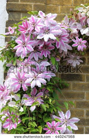 The beautiful climbing plant Clematis Nelly Moser