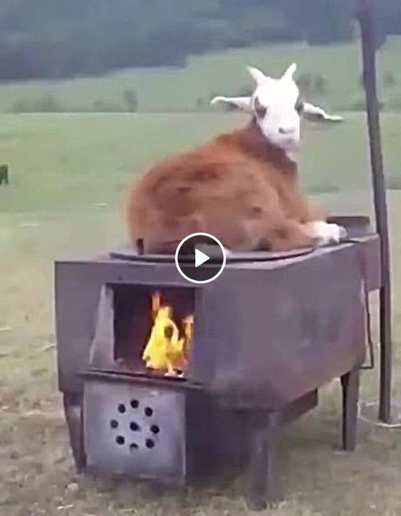 Corneirinho sendo esquentado pelo forno.
