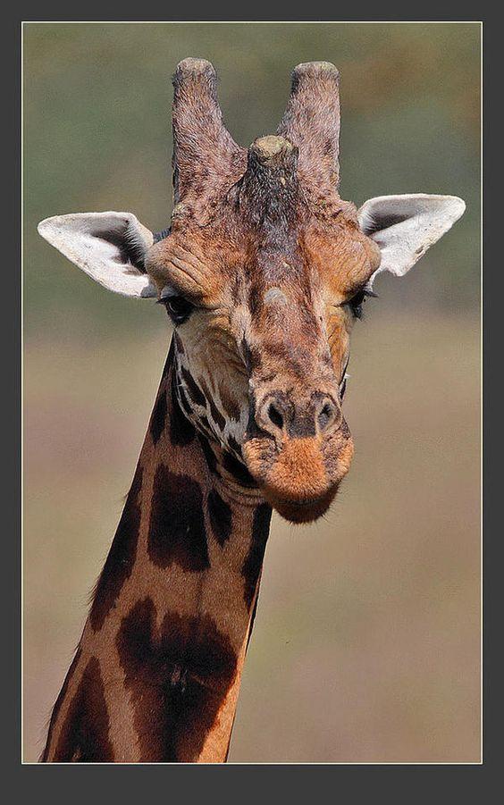 Rothschild%27s Giraffe