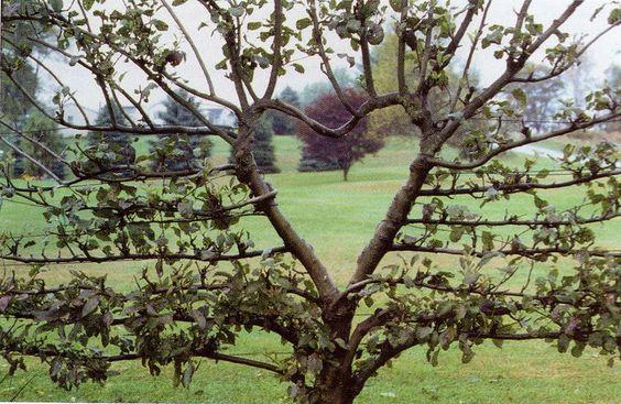 heart espaliered tree: