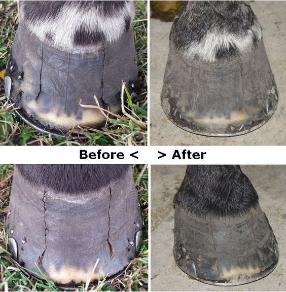 Why do you pinch the skin to test for hydration? Because you can't pinch the hooves!  Charlie Brown was treated with Equiwinner because he lived with cracked hooves. With Equiwinner, Charlie started drinking a lot more water and it went to his feet! The hooves became hydrated and the cracks closed up. These photos were taken Sep 21 and Oct 26. That's just 5 weeks. So don't underestimate hydration. Hydration is everything.