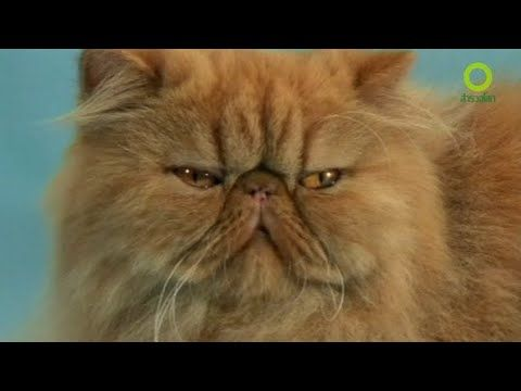 สารคด สำรวจโลก ตอน ไขปร ศนาช ว ตแมว แมว
