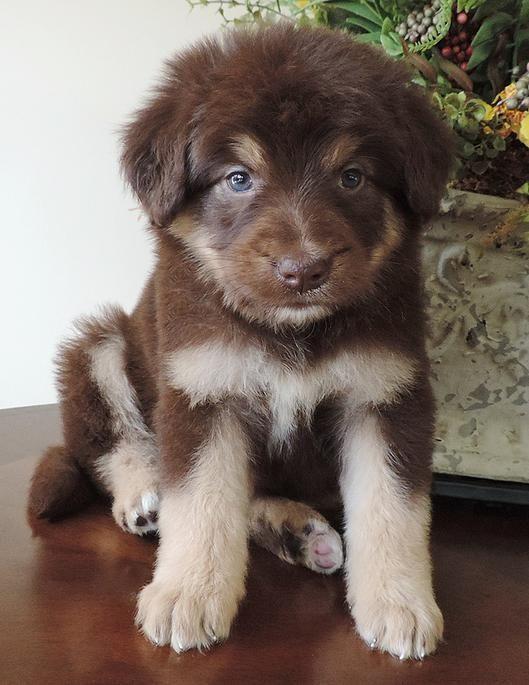 Pin De Crisg En Perros Venta De Perros Cachorros Poodle Cachorros