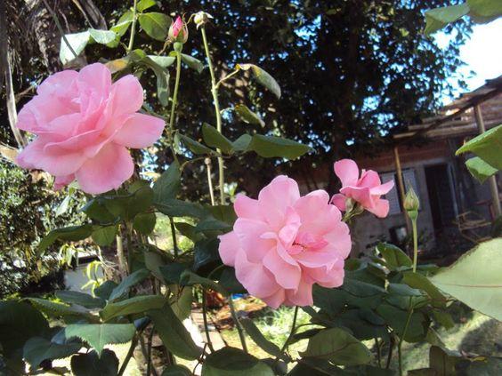 4 FORMAS DE PLANTAR ROSAS: 1 Escolha a sua variedade de rosas. 2 Decida se você prefere plantar as rosas na terra ou em vasos. 3 Escolha o local de plantio. 4 Reúna os materiais para o plantio das rosas. Ter as rosas e um local é um bom início, mas se você as deseja plantar, é preciso reunir todos os materiais: *Fertilizante *Cobertura de folhas *Tesoura para poda *Luvas de jardinagem *Composto ou mistura para o plantio de rosas *Pá *Regador