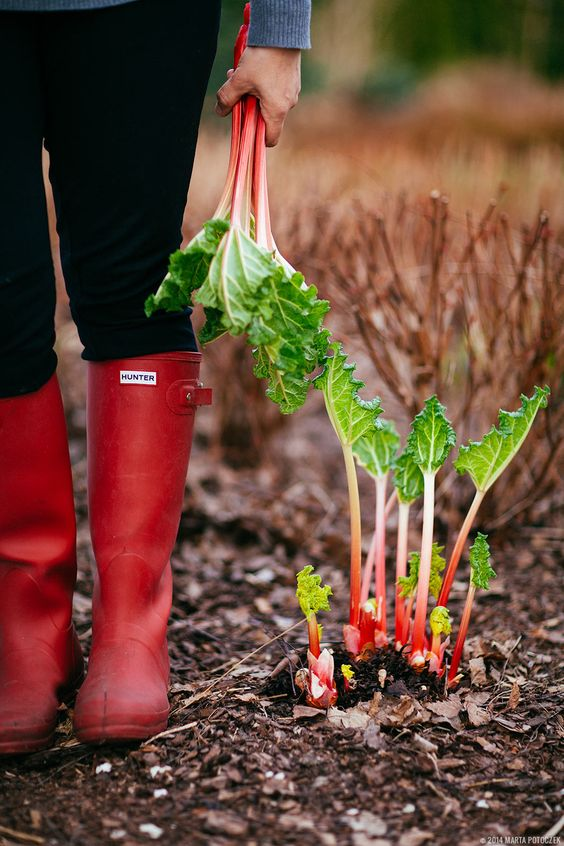 How to force rhubarb. Must try this next january.
