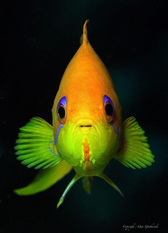 Fahnenbarsch Foto & Bild   Natur, Unterwasser, UW-Salzwasser Bilder auf fotocommunity