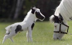 In Illinois, miniature horses can now be used as service animals.