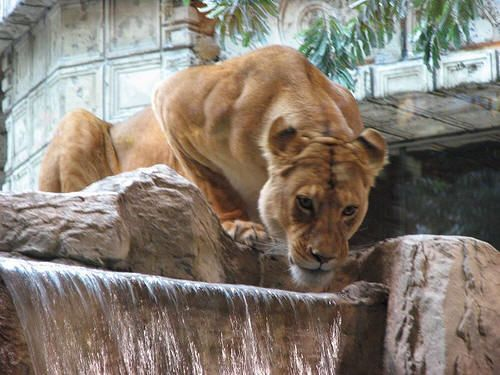 MGM Grand Lions - one of my favorite experiences in Vegas was holding a lion cub, Nugget, at the MGM Grand.  If you love animals, especially big cats, well worth standing in line and the price of admission for a few minutes to do this!