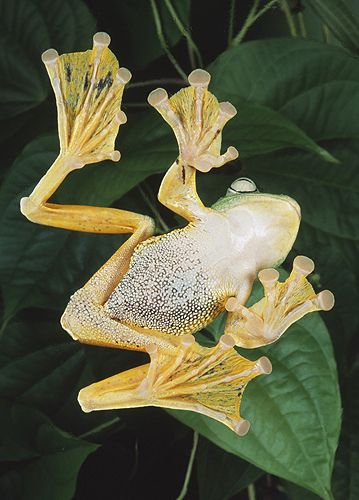 Toads and frogs with webbed feet think