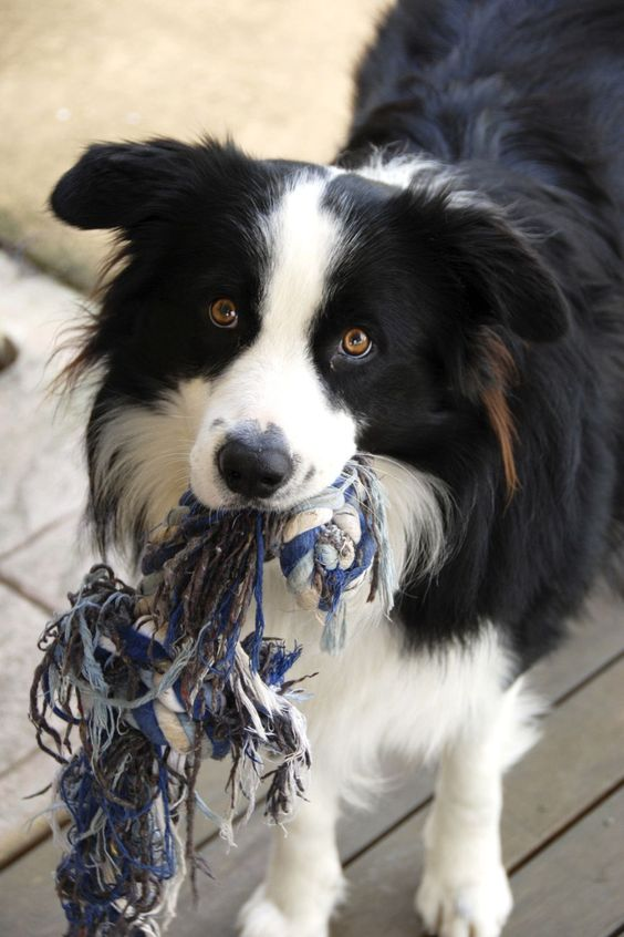 9 Signs Your Border Collie Is Your Absolute Best Friend Bordercollie Collie Puppies Border Collie Collie Dog