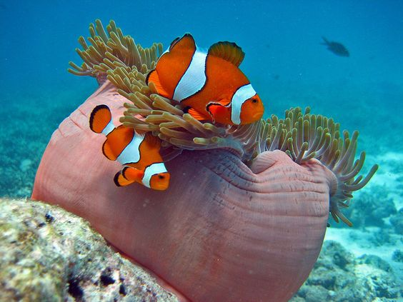"""Clownfish {They are the only fish anenomes aren't toxic to and will hide in the """"arms"""", feed the anenome, get body rubs, etc.  Just delightful to watch!}"""