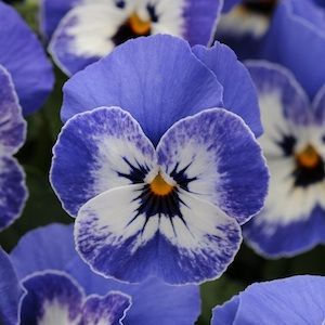 Love, love, love sweet pretty pansies!