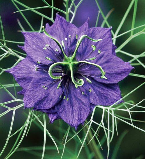 Buy Nigella Damascena Deep Blue Love In A Mist In 2020 Flower Seeds Edible Flowers Nigella