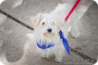 Washington, DC - Yorkie, Yorkshire Terrier/Cockapoo Mix. Meet Josiah, a dog for adoption. http://www.adoptapet.com/pet/11176455-washington-dc-yorkie-yorkshire-terrier-mix