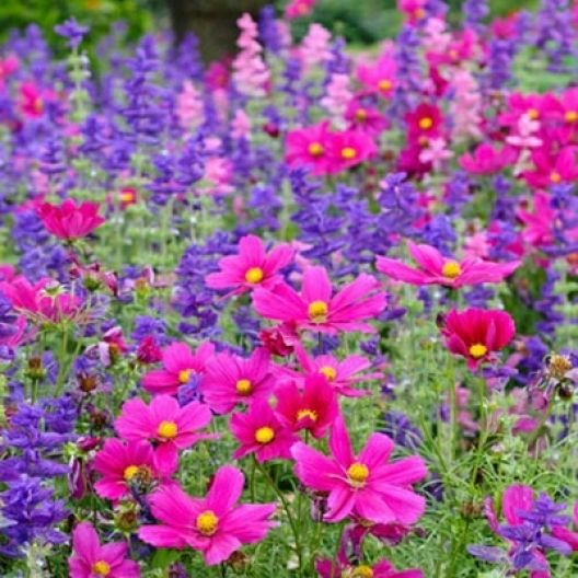 Cosmos Dazzler Seeds Cosmos Flowers Garden Plants Plant Combinations
