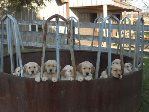 Adopt Buffy On Petfinder Lab Mix Puppies Yellow Labrador Retriever Labrador Retriever