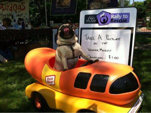 Pug in a Wienermobile