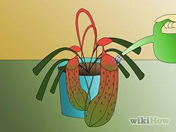 Grow Pitcher Plants Step