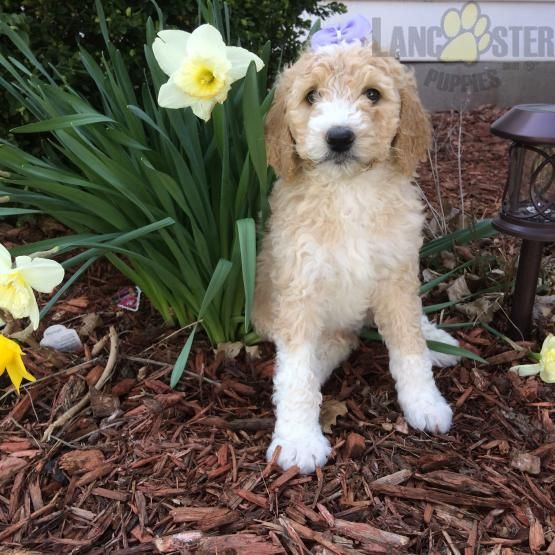 950 Rocky Bernedoodle Puppy For Sale In Findlay Oh Lancaster
