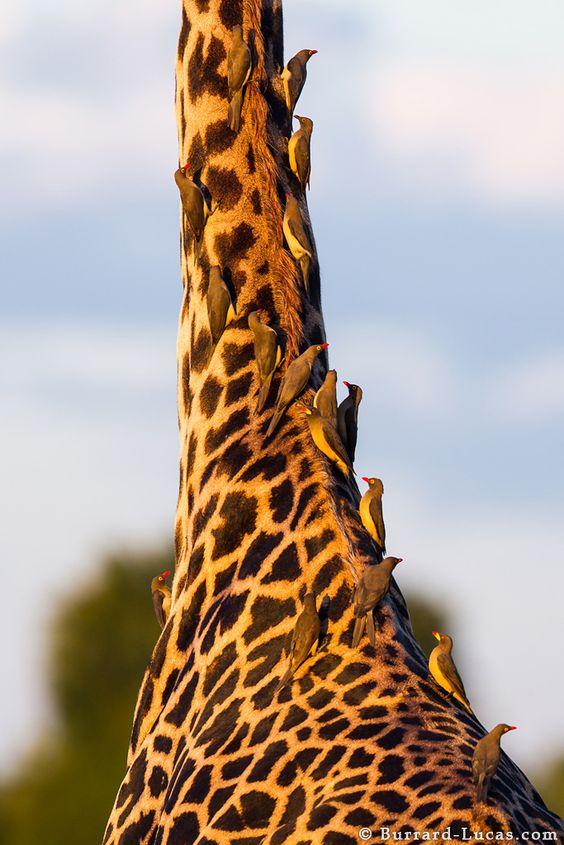 An African Bird Feeder ;) | Photo by Will Burrard-Lucas at http://www.burrard-lucas.com/