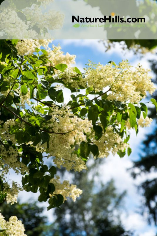 Japanese Lilac Tree In 2020 Lilac Tree Japanese Lilac Tree Japanese Tree