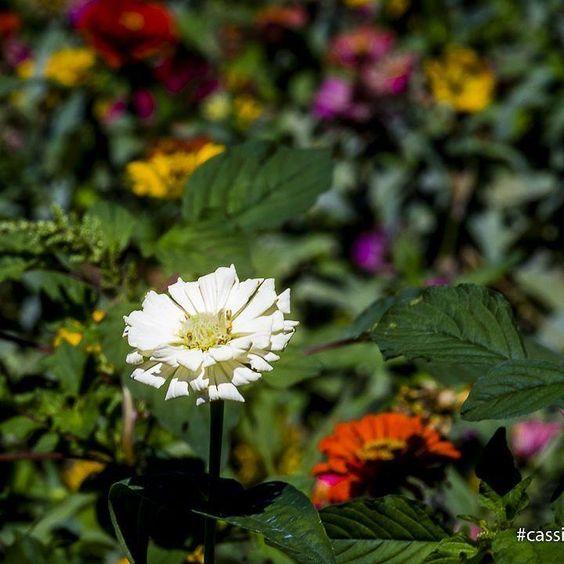 . Deriva do bem 2016 - caminho do sol . . . Com organização e tempo acha-se o segredo de fazer tudo e bem feito. (Pitágoras) . . . #cassiogomides #photographylife #ftwotw #insta_crew #olhareseimagens #brasil #goias #goiania #wms_brasil #vitrinevisual #iggoias #ig_goias #urbancropping #brasil_greatshots #brasilclique #flower #flowerstagram #flowersofinstagram #flowerslovers #insta_pick_blossom #flowermagic #instablooms #floweroftheday #nature_perfection #hppyflwrs #ponyfony_flowers…