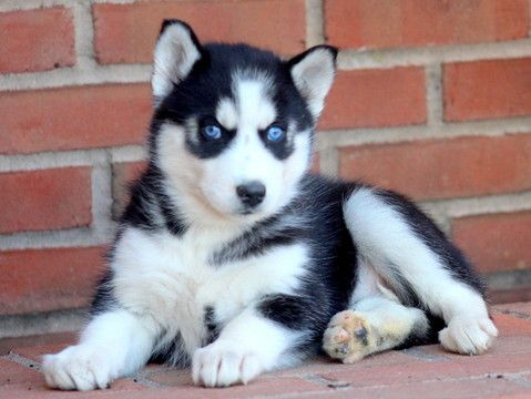 Siberian Husky Puppy For Sale In Mount Joy Pa Adn 58189 On