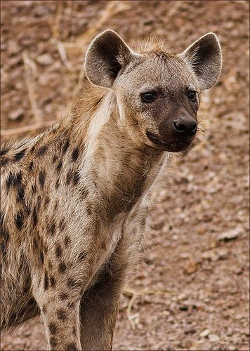 What do hyenas eat? There are three types of hyenas; the spotted hyena, the brown hyena, and the striped hyena.#hyenas
