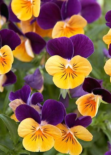 See Our Tips For Planting Deadheading Fertilizing Pansies To Get The Most Blooms Pansies Fallgarden Fallgard In 2020 Pansies Fall Garden Checklist Daffodil Flower