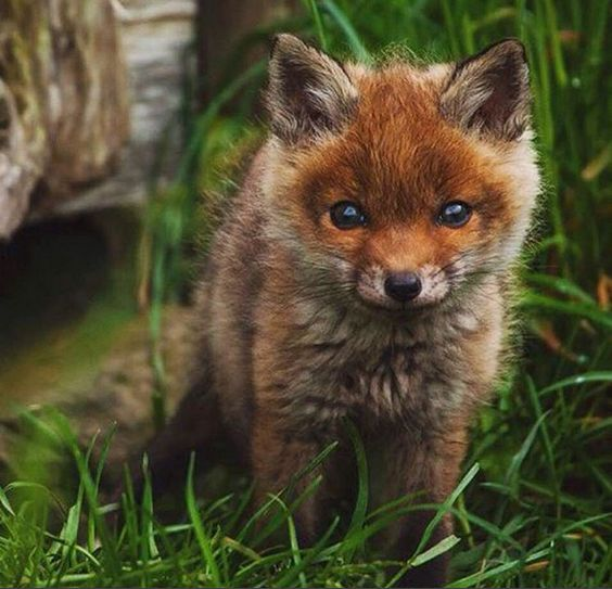 Adorable baby fox