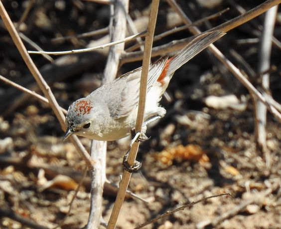 Lucy's Warbler -m-sw-
