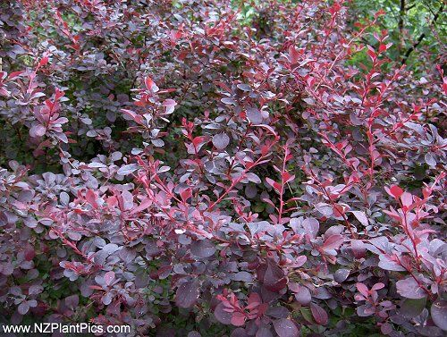 Landscaping Shrubs With Red Berries : Evergreen shrubs in michigan red barberry bushes