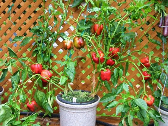 Olivia s growing solution is a best nutrient solution for growing capsicum hydroponically - Growing vegetables indoors practical tips ...