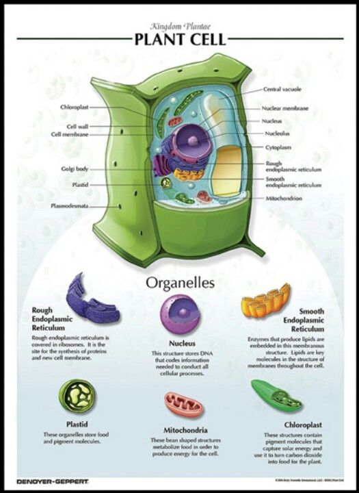 The small green chloroplast is an organelle that makes ...