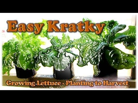 Easy Kratky Lettuce Planting To Harvest Youtube With Images