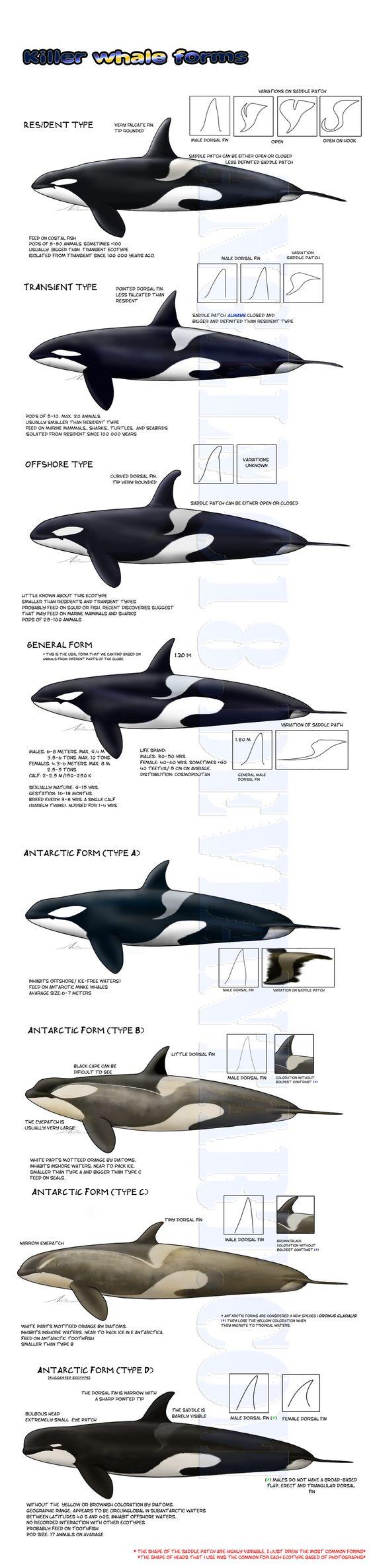 -Killer whale forms- UPDATED by AngelMC18.deviantart.com on @DeviantArt