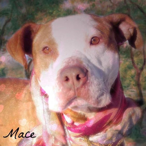 Adopt 1136 Mace 12 Adopted On Petfinder Pet Adoption Dog Adoption Animals Beautiful